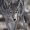 CoyotePastLife-HealingEnergyServices